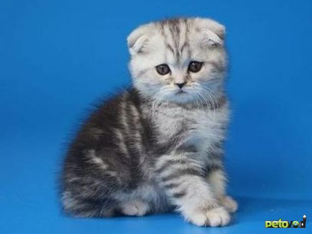 Продаю: Шотландские мраморные котята фото2