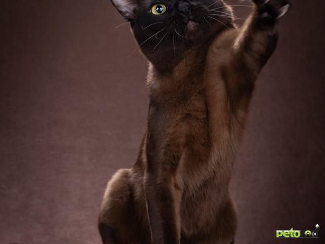 Продаю: Котята Европейской Бурмы