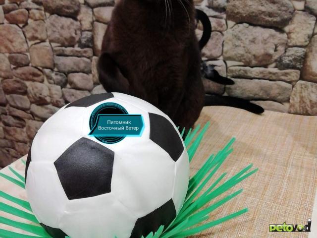 Продаю: Котята Европейской Бурмы  фото2