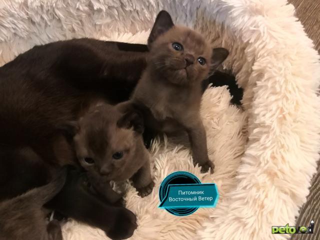 Продаю: Котята Европейской Бурмы  фото3