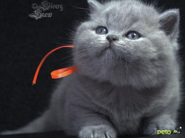 Продаю: Голубые плюшевые британские котята