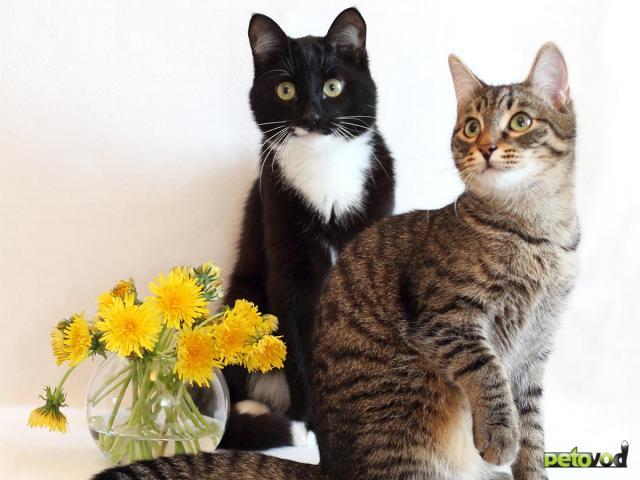 Продаю: 2 кота полосатый Николай и ч/б Кокос ищут дом
