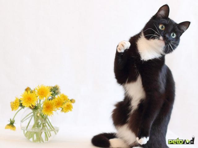 Продаю: 2 кота полосатый Николай и ч/б Кокос ищут дом фото3