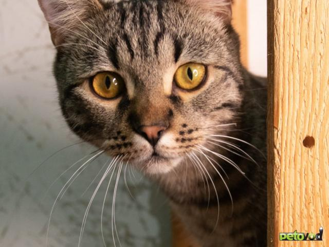 Продаю: Шикарный кот ищет дом