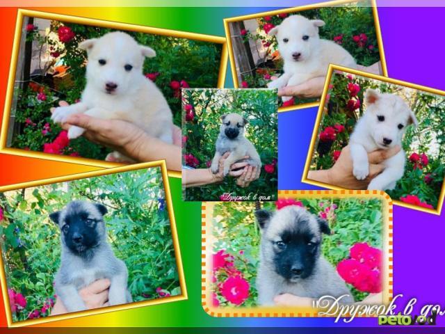 Отдам в дар: Дружок в дом предлагает щенков, взрослых собак в дар фото4