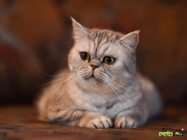 Продаю: Кошка Микаэла в добрые руки