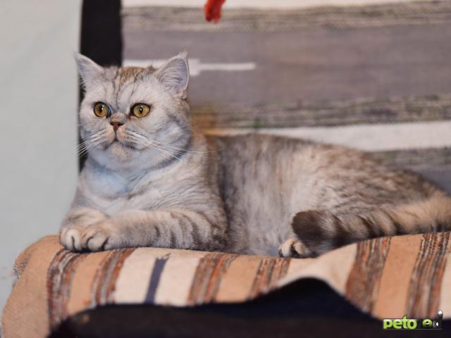 Продаю: Кошка Микаэла в добрые руки фото2