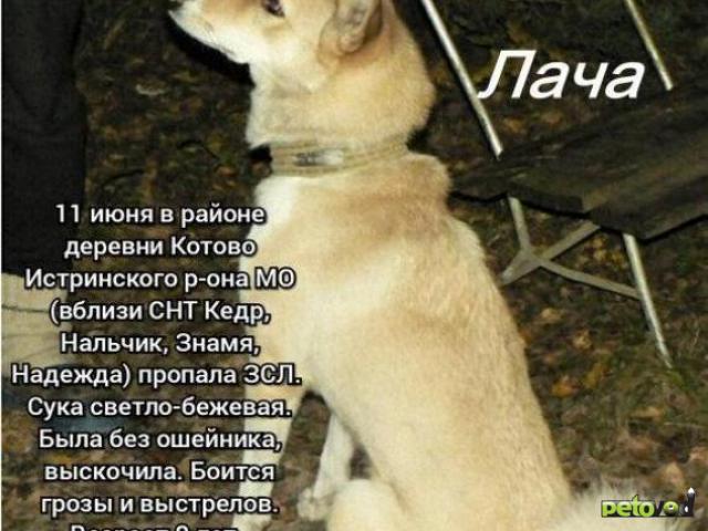 Потерялся/Нашелся: Потерялась лайка ЗСЛ фото4