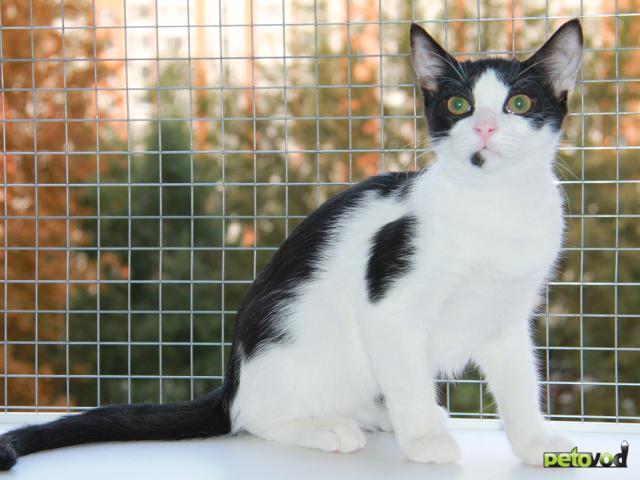 Отдам в дар: Красавец кот Петя ждет хозяина фото2