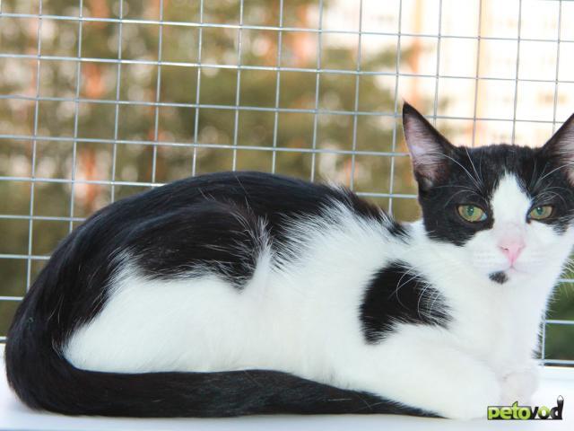 Отдам в дар: Красавец кот Петя ждет хозяина фото3