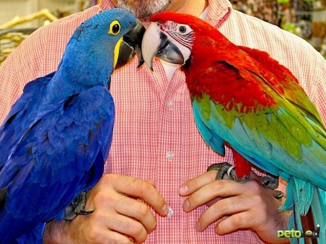 Продаю: Попугаи -  ручные птенцы из питомника