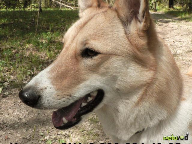 Потерялся/Нашелся: Потерялась собака лайка фото2