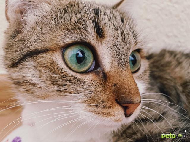 Продаю: Кошечка с изумрудными глазами