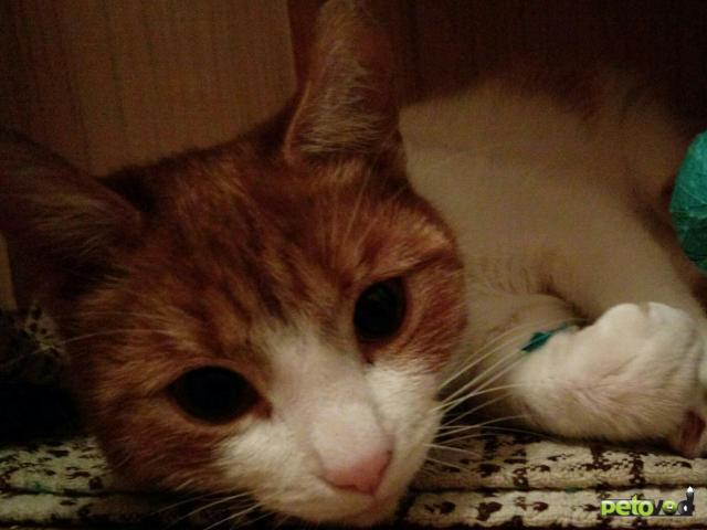 Продаю: Рыжий ручной котик фото2