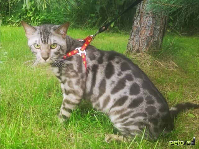Вязка: Бенгальский кот на вязку