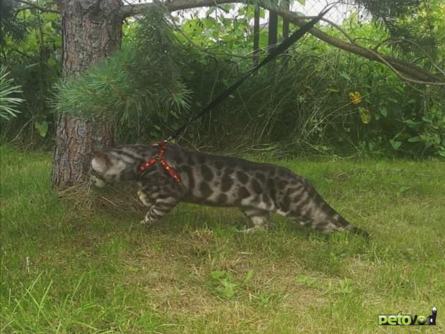 Вязка: Бенгальский кот на вязку  фото2