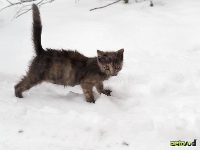 Продаю: Котёнок Дымка ищет добрый дом фото2