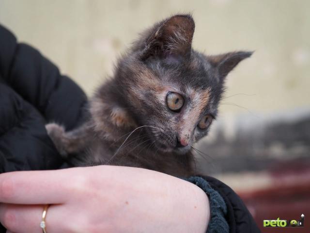 Продаю: Котёнок Дымка ищет добрый дом фото3