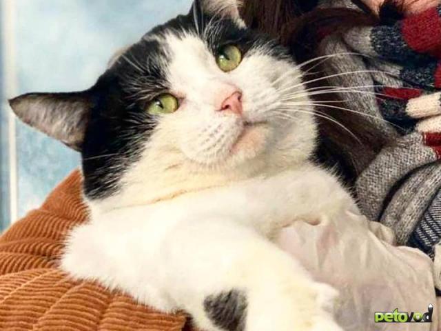 Отдам в дар: Невероятно игривый и ручной кот Зевс в добрые руки