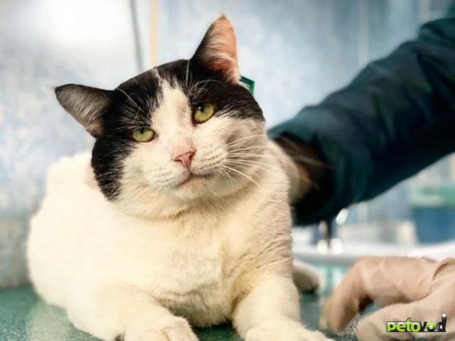 Отдам в дар: Невероятно игривый и ручной кот Зевс в добрые руки фото2