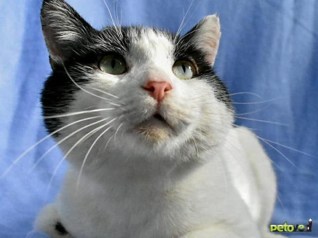 Отдам в дар: Невероятно игривый и ручной кот Зевс в добрые руки фото3