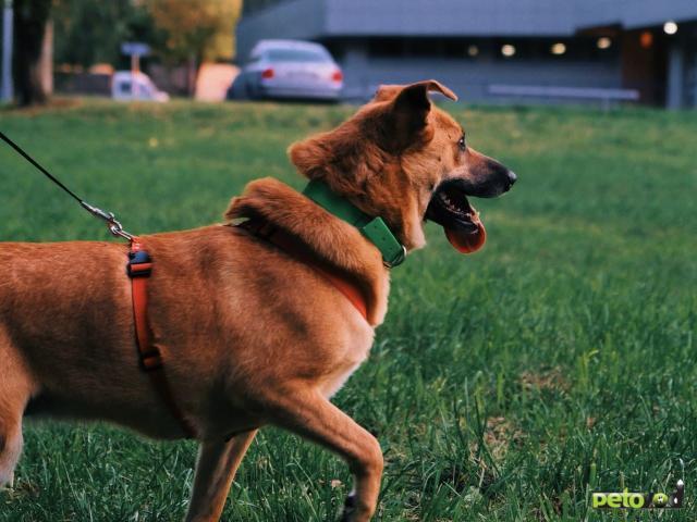 Отдам в дар: Фрея - собака ищет дом
