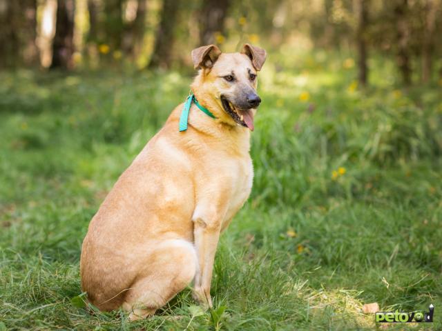Отдам в дар: Зита Самая преданная собака в поисках семьи фото2