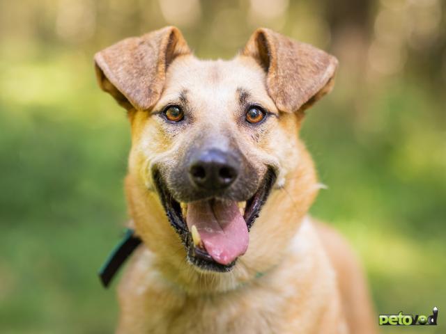 Отдам в дар: Зита Самая преданная собака в поисках семьи фото3