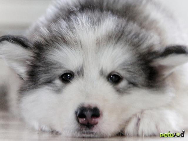 Продаю: Предлагаются продаже щенки Аляскинского Маламута