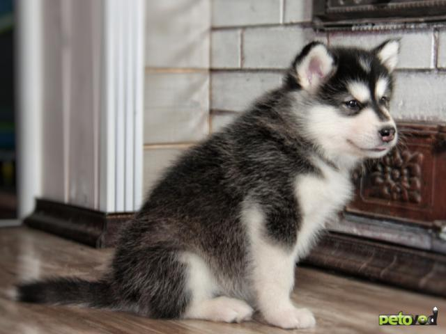 Продаю: Предлагаются продаже щенки Аляскинского Маламута фото4