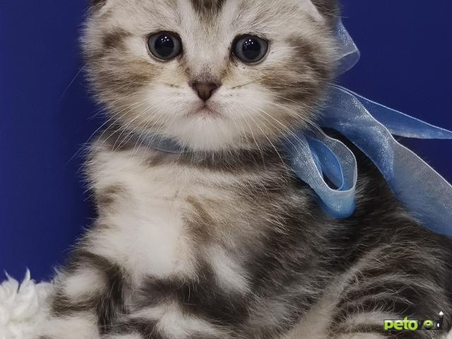 Продаю: открыт резерв на шотландских котят фото2