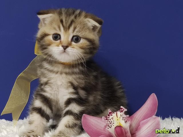 Продаю: открыт резерв на шотландских котят фото3