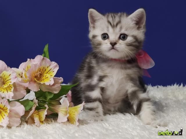 Продаю: открыт резерв на шотландских котят фото4