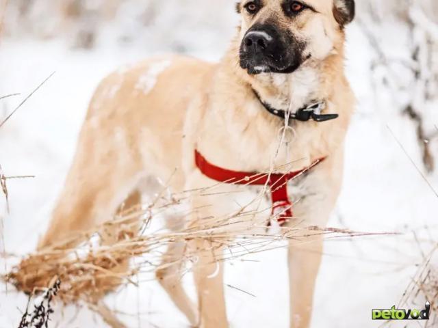 Отдам в дар: Ваш благородный пёс у нас фото2