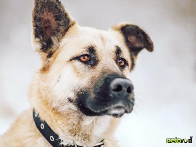Отдам в дар: Ваш благородный пёс у нас фото3