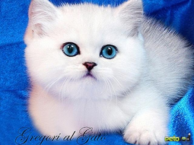 Продаю: Британская шиншилла котята с изумрудными и  голубыми глазками
