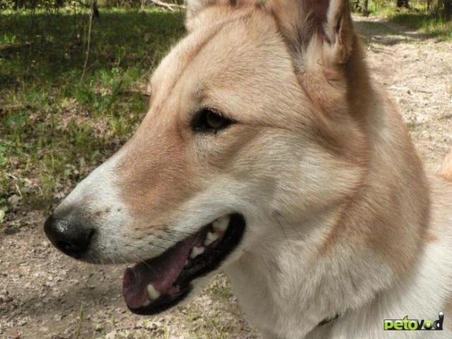 Потерялся/Нашелся: Потерялась собака лайка Лача фото2