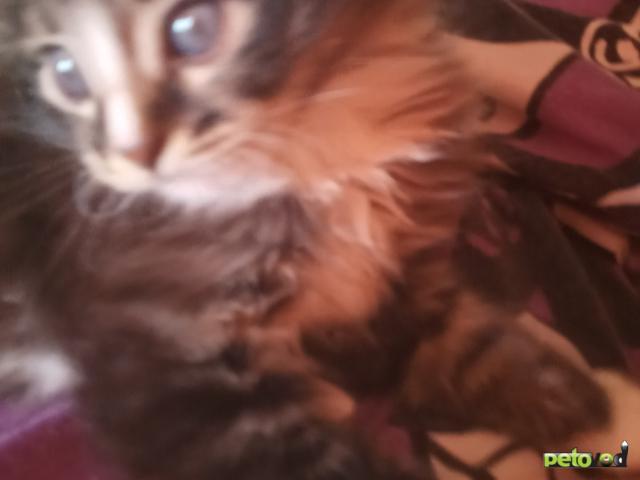 Продаю: Котенок ласковый пушистый белым окрасом с темненьк полосатый