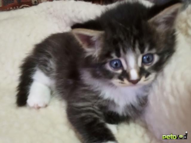 Продаю: Котенок ласковый пушистый белым окрасом с темненьк полосатый фото2