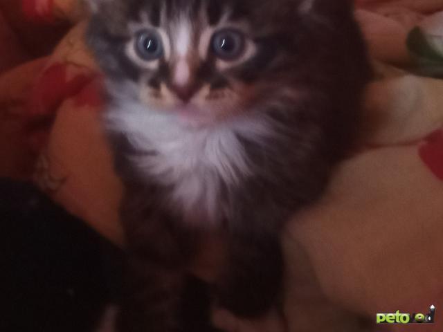 Продаю: Котенок ласковый пушистый белым окрасом с темненьк полосатый фото3