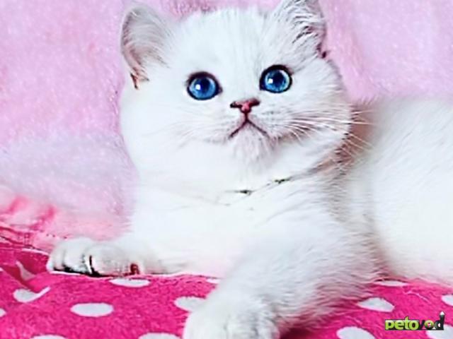 Продаю: Британская шиншилла котята с голубыми глазками