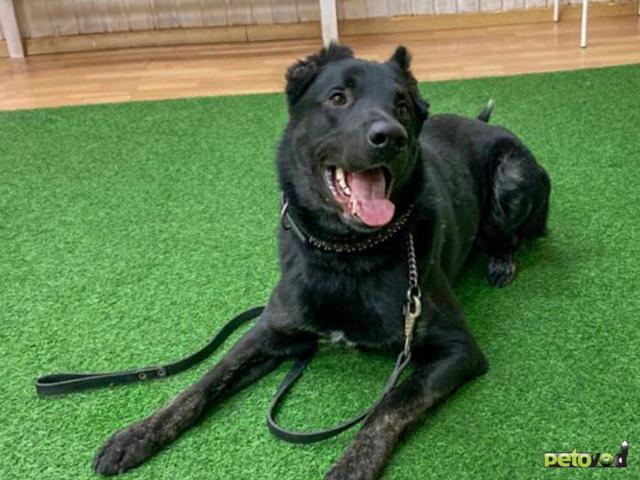 Отдам в дар: Блэк - большой чёрный красавец с купированными ушами,  фото3