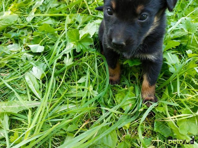 Отдам в дар: Симпатичные, здоровые щенки  фото2