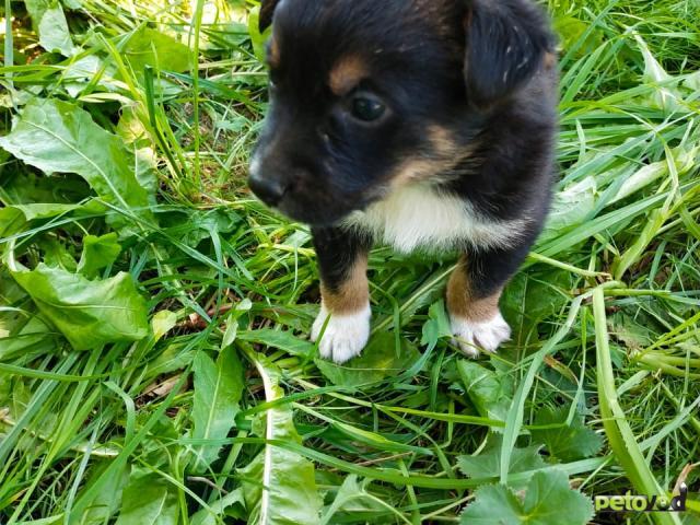 Отдам в дар: Симпатичные, здоровые щенки  фото4
