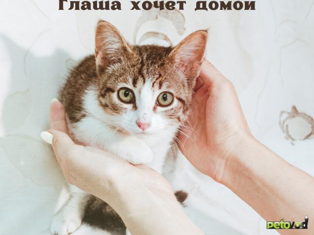 Продаю: Котенок девочка полосатая с белым ищет дом фото2