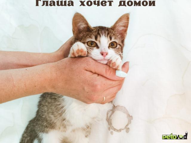 Продаю: Котенок девочка полосатая с белым ищет дом фото3