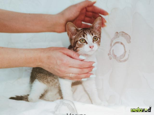 Продаю: Котенок девочка полосатая с белым ищет дом фото4