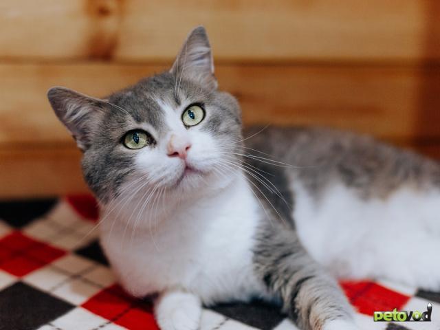 Отдам в дар: Кот Степан ищет дом