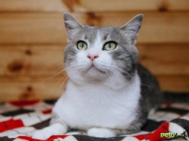Отдам в дар: Кот Степан ищет дом фото2