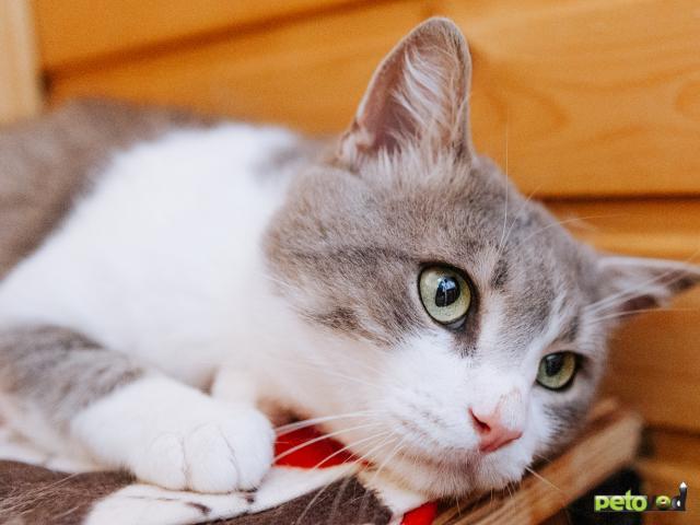 Отдам в дар: Кот Степан ищет дом фото3